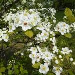 Crataegus collina Chapm. (Боярышник холмовой) 4