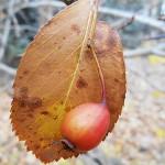 Crataegus crus-galli L. (Боярышник петушья шпора) 8