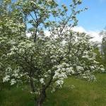 Crataegus densiflora Sarg. (Боярышник густоцветковый) 1