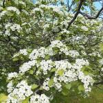Crataegus densiflora Sarg. (Боярышник густоцветковый) 2