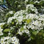 Crataegus densiflora Sarg. (Боярышник густоцветковый) 3
