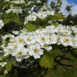 Crataegus densiflora Sarg. (Боярышник густоцветковый) 4