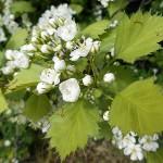 Crataegus densiflora Sarg. (Боярышник густоцветковый) 5