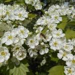 Crataegus densiflora Sarg. (Боярышник густоцветковый) 6
