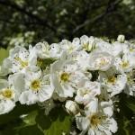 Crataegus densiflora Sarg. (Боярышник густоцветковый) 7