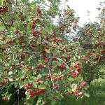 Crataegus densiflora Sarg. (Боярышник густоцветковый) 8