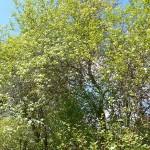 Crataegus douglasii Lindl. (Боярышник Дугласа) 1