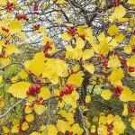 Crataegus macracantha Lodd. ex Loudon (Боярышник крупноколючковый) 10