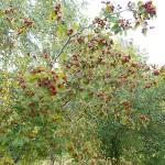 Crataegus macrosperma Ashe (Боярышник крупносемянный) 9