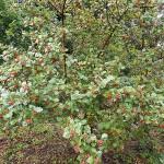 Crataegus maximowiczii C.K. Schneid. (Боярышник Максимовича) 9