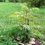 Dipteronia sinensis Oliv (Диптерония китайская)