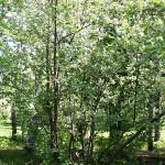 Sorbus х hybrida L. (Рябина гибридная)