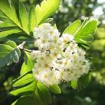 Sorbus х hybrida L. (Рябина гибридная) 3