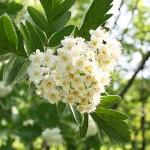 Sorbus х hybrida L. (Рябина гибридная) 4