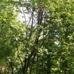 Sorbus х thuringiaca (Ilse) Fritsch. (Рябина тюрингская)