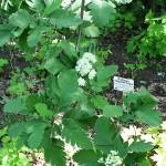 Sorbus х thuringiaca (Ilse) Fritsch. (Рябина тюрингская) 2