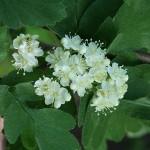 Sorbus х thuringiaca (Ilse) Fritsch. (Рябина тюрингская) 4