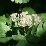 Sorbus х thuringiaca (Ilse) Fritsch. (Рябина тюрингская) 5
