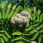 Sorbus rufo-ferruginea (Schneid.) Schneid.
