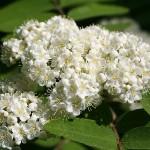 Sorbus rufo-ferruginea (Schneid.) Schneid. (Рябина рыже-ржавая)