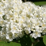 Sorbus rufo-ferruginea (Schneid.) Schneid. (Рябина рыже-ржавая) 2