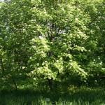 Sorbus rufo-ferruginea (Schneid.) Schneid. (Рябина рыже-ржавая) 3