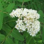 Sorbus rufo-ferruginea (Schneid.) Schneid. (Рябина рыже-ржавая) 4