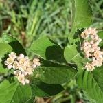 Sorbus сhamaemespilus (L.) Grantz. var. sudetica (Tausch) Wenz (Рябина приземистая) 2