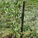 Sorbus сhamaemespilus (L.) Grantz. var. sudetica (Tausch) Wenz (Рябина приземистая) 3