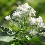 Sorbus turkestanica (Franch.) Hedl. (Рябина туркестанская) 2