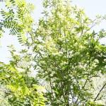 Sorbus turkestanica (Franch.) Hedl. (Рябина туркестанская) 3