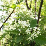 Sorbus turkestanica (Franch.) Hedl. (Рябина туркестанская) 4