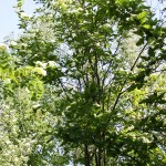 Sorbus turkestanica (Franch.) Hedl. (Рябина туркестанская) 5