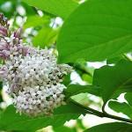 Syringa pubescens Turcz. (сирень пушистая)