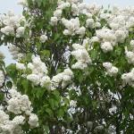 Syringa vulgaris L. 'Agidel' (Сирень обыкновенная 'Агидель')