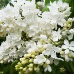 Syringa vulgaris L. 'Agidel' (Сирень обыкновенная 'Агидель') 1