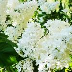 Syringa vulgaris L. 'Agidel' (Сирень обыкновенная 'Агидель') 2