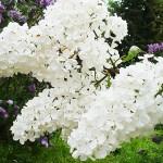 Syringa vulgaris L. 'Agidel' (Сирень обыкновенная 'Агидель') 3