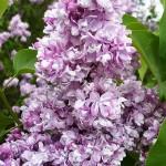 Syringa vulgaris L. 'Aigul' (Сирень обыкновенная 'Айгуль')