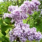 Syringa vulgaris L. 'Aigul' (Сирень обыкновенная 'Айгуль') 1
