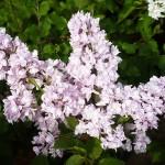 Syringa vulgaris L. 'Aigul' (Сирень обыкновенная 'Айгуль') 2