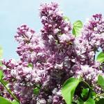 Syringa vulgaris L. 'Aigul' (Сирень обыкновенная 'Айгуль') 3
