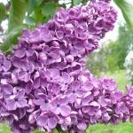 Syringa vulgaris L. 'Alyosha' (Сирень обыкновенная 'Алеша')