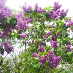 Syringa vulgaris L. 'Alyosha' (Сирень обыкновенная 'Алеша') 1