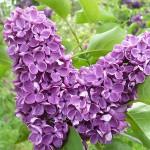 Syringa vulgaris L. 'Alyosha' (Сирень обыкновенная 'Алеша') 2
