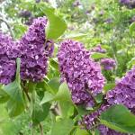Syringa vulgaris L. 'Alyosha' (Сирень обыкновенная 'Алеша') 3