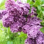 Syringa vulgaris L. 'Alyosha' (Сирень обыкновенная 'Алеша') 4