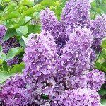 Syringa vulgaris L. 'Alyosha' (Сирень обыкновенная 'Алеша') 5