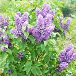 Syringa vulgaris L. 'Alyosha' (Сирень обыкновенная 'Алеша') 6