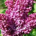 Syringa vulgaris L. 'Alyosha' (Сирень обыкновенная 'Алеша') 7